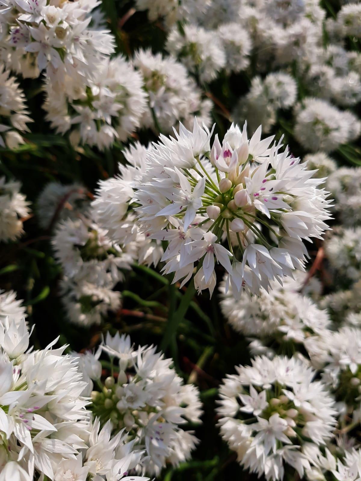 Lauch  Allium albidum