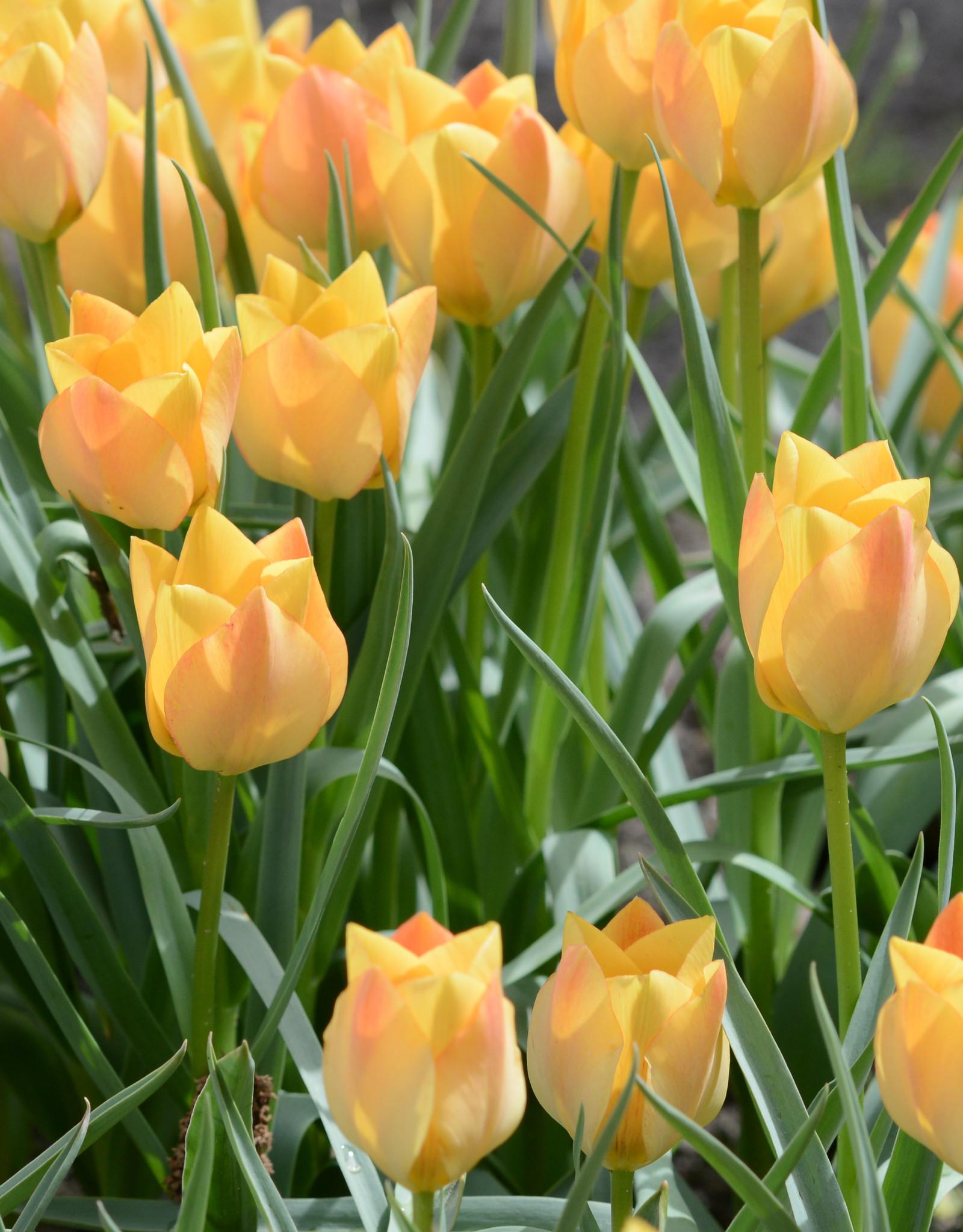 Tulpe  Tulipa batalinii 'Bright Gem'