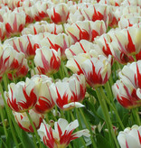 Tulpe  Tulipa 'World Expression'