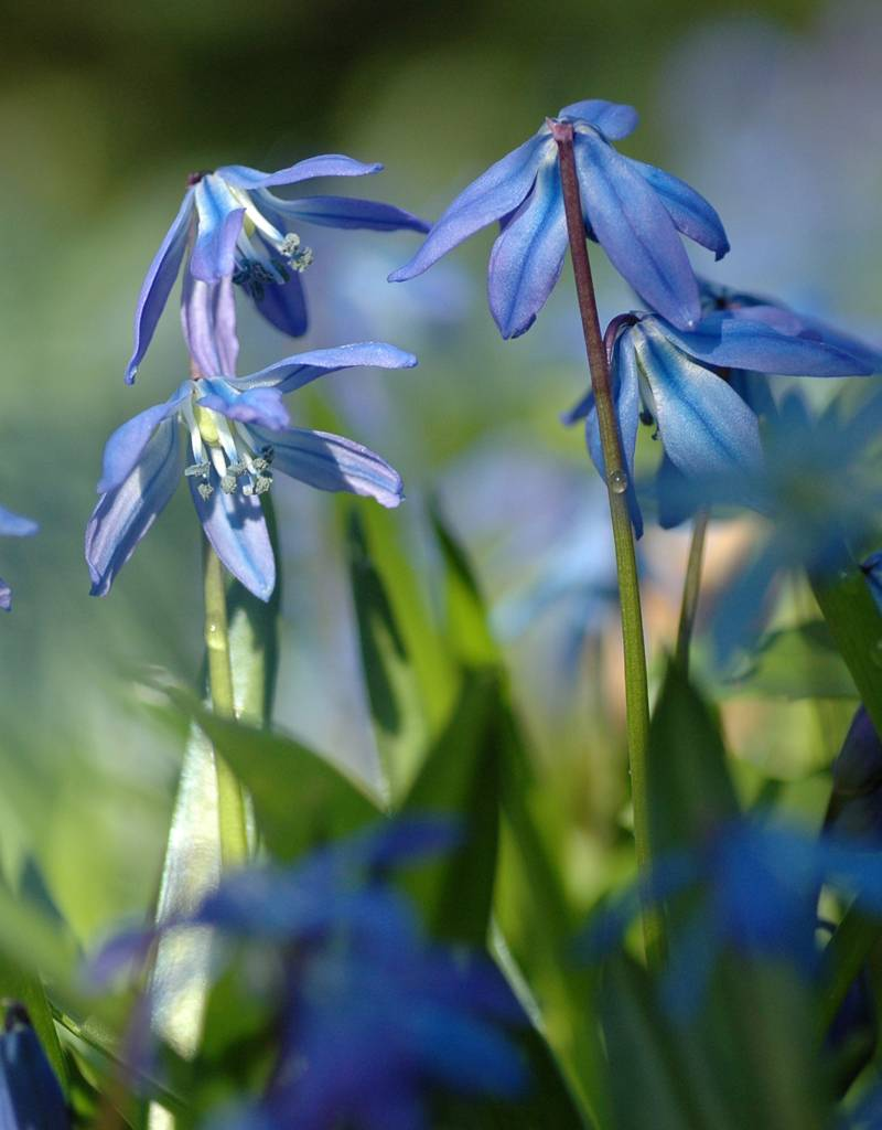 Blaustern (Sibirischer)  Scilla siberica, Bio (Sibirischer Blaustern) - Stinsenpflanze, BIO