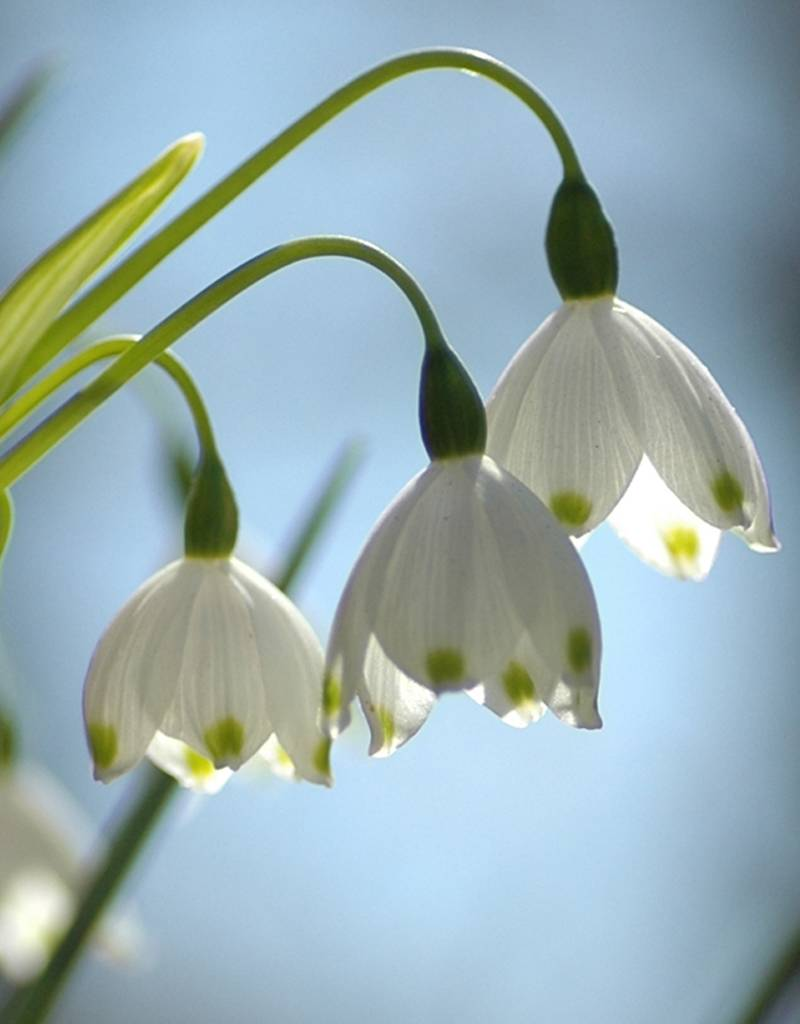 Sommer-Knotenblume Leucojum aestivum (Sommer-Knotenblume) - Stinsenpflanze