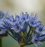 Lauch  Allium caeruleum (Blauer Lauch)
