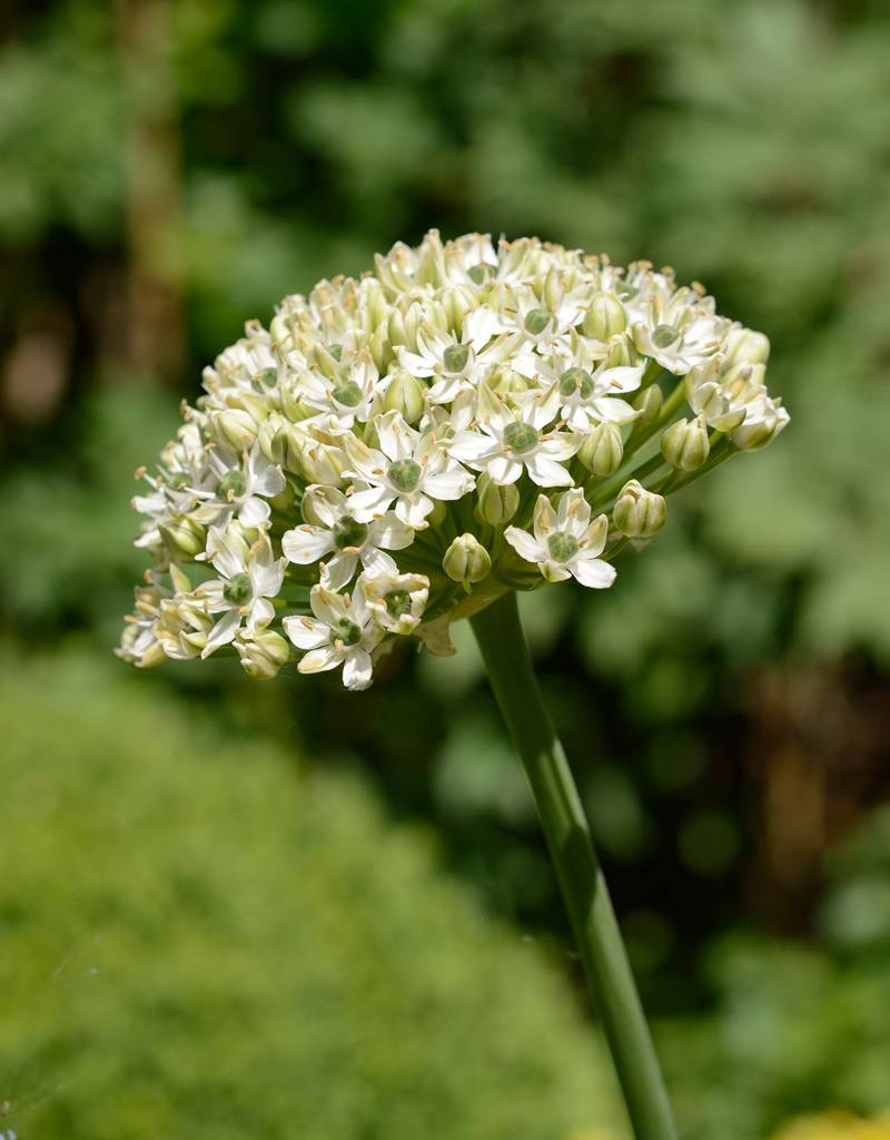 Lauch  Allium nigrum (Schwarz-Lauch)