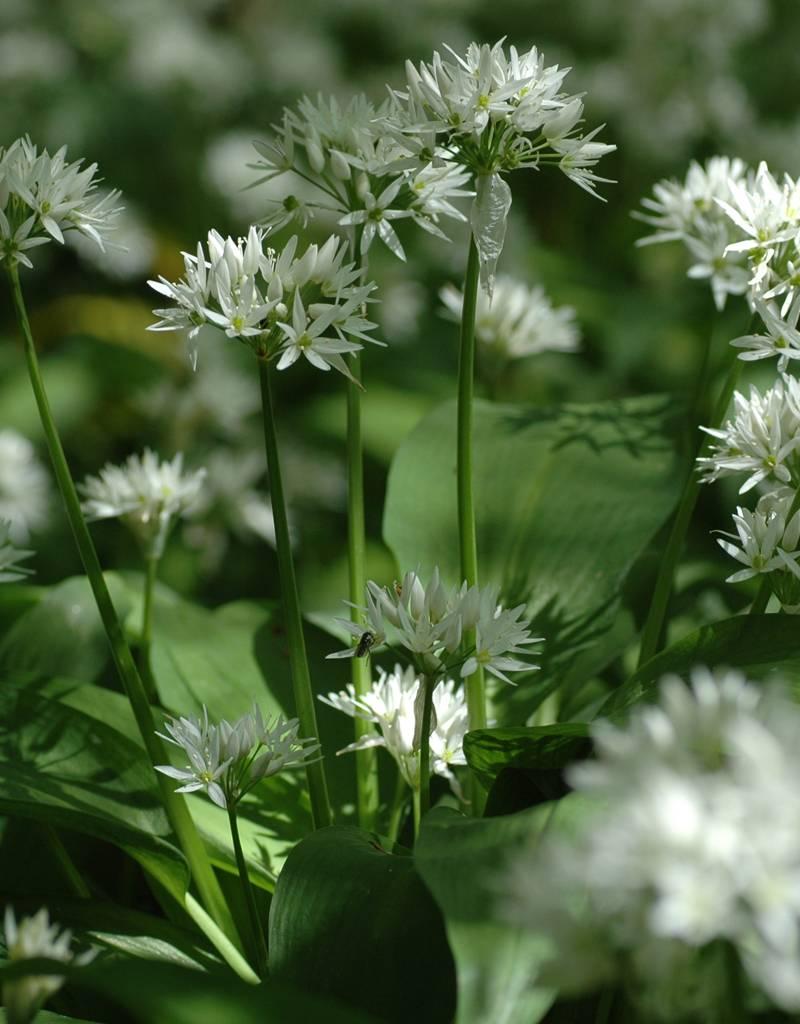 Lauch (Bärlauch)  Allium ursinum (Saatgut) (Bärlauch) - Stinsenpflanze