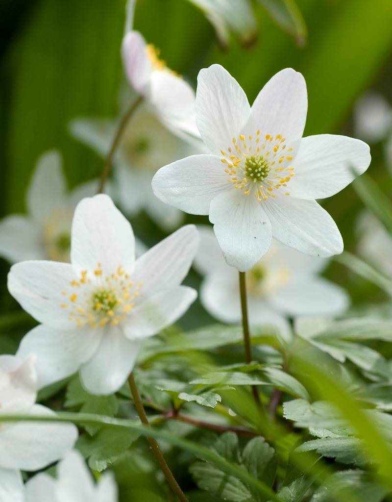 Buschwindröschen Anemone nemorosa (Weisses Buschwindröschen) - Stinsenpflanze