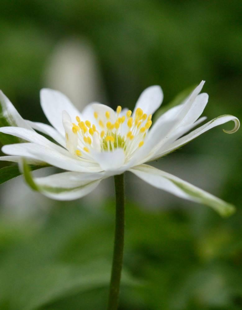 Buschwindröschen Anemone nemorosa 'Bracteata' (Buschwindröschen) - Stinsenpflanze