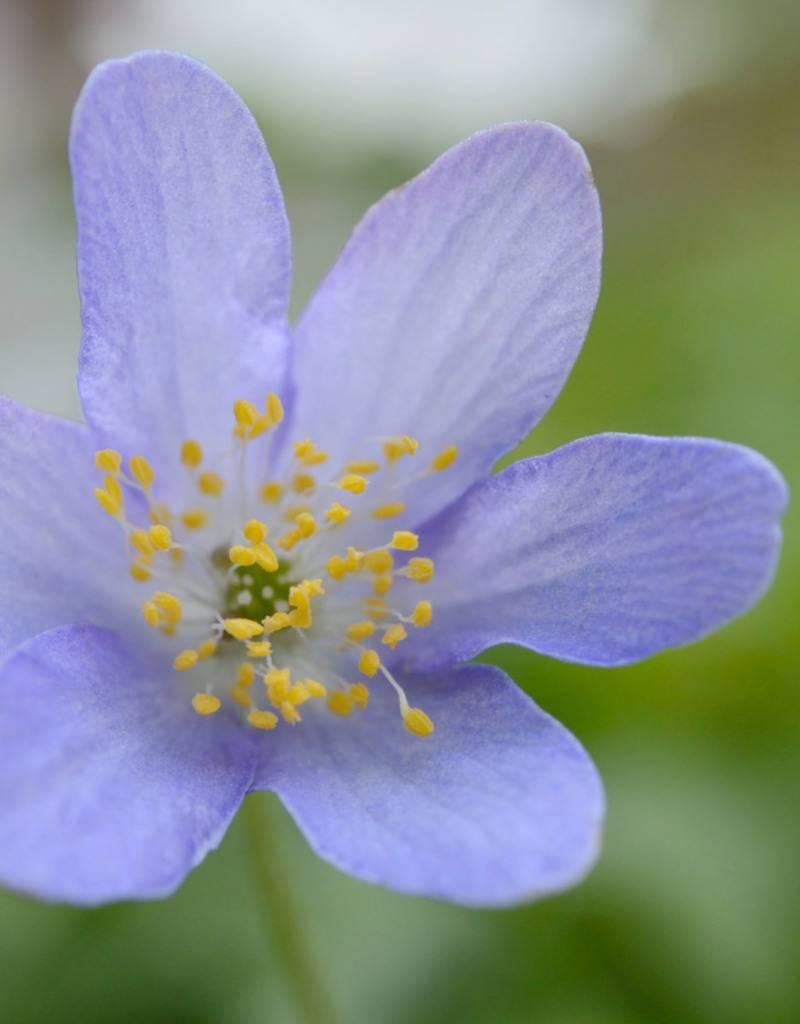 Buschwindröschen  Anemone nemorosa 'Royal Blue' (Buschwindröschen) - Stinsenpflanze