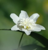 Buschwindröschen Anemone nemorosa 'Vestal' (Doppeltes Buschwindröschen) - Stinsenpflanze