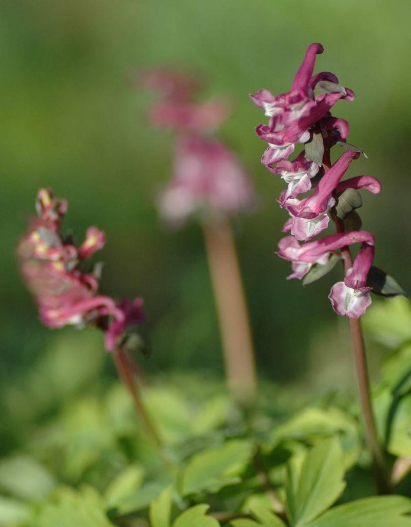 Lerchensporn (Hohler) Corydalis cava (bulbosa) (Hohler Lerchensporn) - Stinsenpflanze