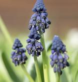 Bellevalien  Bellevalia pycnantha (Bellevalie)