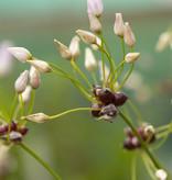 Lauch  Allium roseum (Rosen-Lauch)