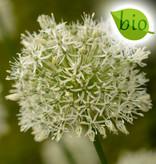 Zierlauch  Allium 'Mount Everest' ('Mount Everest' Lauch), BIO