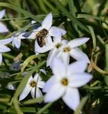 Frühlingsstern  Ipheion uniflorum, BIO (Frühlingsstern)