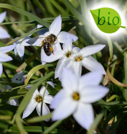 Frühlingsstern  Ipheion uniflorum, BIO