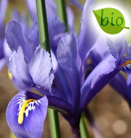 Iris (Kleine Netzblatt)  Iris reticulata 'Harmony', BIO