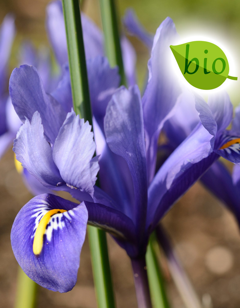 Iris (Kleine Netzblatt)  Iris reticulata 'Harmony', BIO (Kleine Netzblatt Iris)