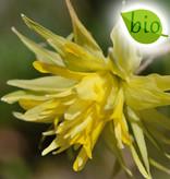 Narzisse  Narcissus 'Rip van Winkle', BIO