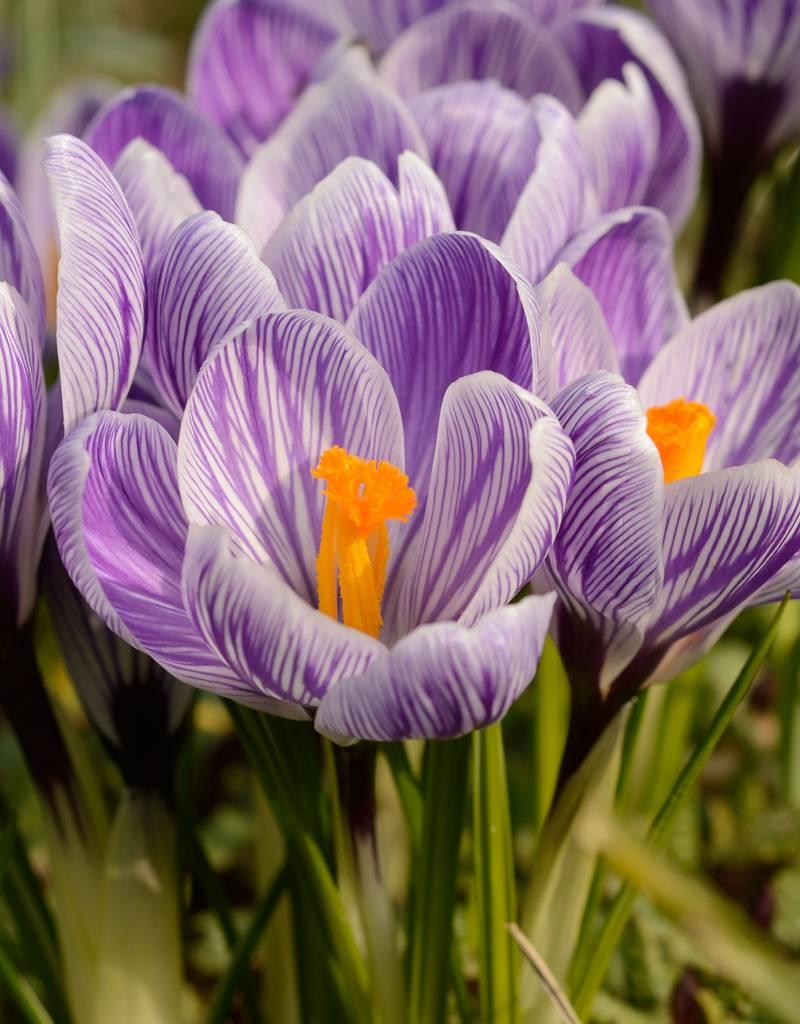 Krokus (Frühlings)  Crocus vernus 'King of the Striped' (Frühlings-Krokus) - Stinsenpflanze