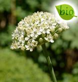 Lauch  Allium nigrum, BIO (Schwarz-Lauch)