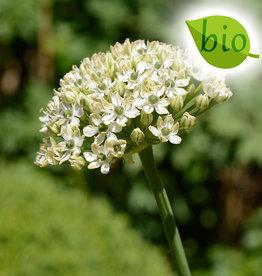 Lauch  Allium nigrum, BIO