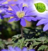 Anemone (Strahlen)  Anemone blanda 'Blue Shades' (Strahlenanemone), BIO