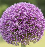 Zierlauch  Allium 'Ambassador' (Zierlauch)