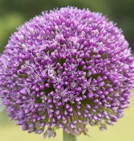 Zierlauch  Allium 'Ambassador'