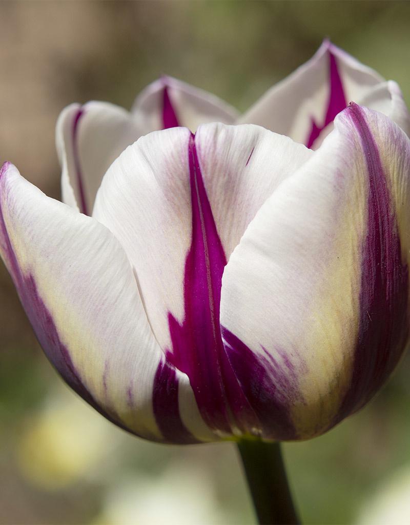 Tulpe  Tulipa 'Rem's Favourite' (Tulpe)