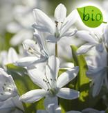 Blaustern (Weisser)  Scilla miczenkoana (Weisser Blaustern) - Stinsenpflanze, BIO