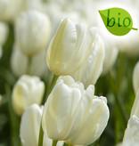 Tulpe  Tulipa 'Catharina', BIO
