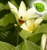 Tulpe  Tulipa clusiana var. chrysantha, BIO (Tulpe)