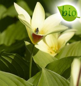 Tulpe  Tulipa clusiana var. chrysantha, BIO