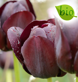 Tulpe  Tulipa 'Queen of Night', BIO