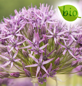 Zierlauch  Allium 'Violet Beauty', BIO
