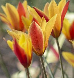 Tulpe  Tulipa clusiana var. chrysantha 'Tubergens Gem'