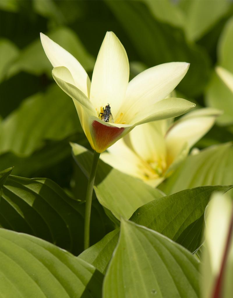 Tulpe  Tulipa clusiana var. chrysantha (Tulpe)
