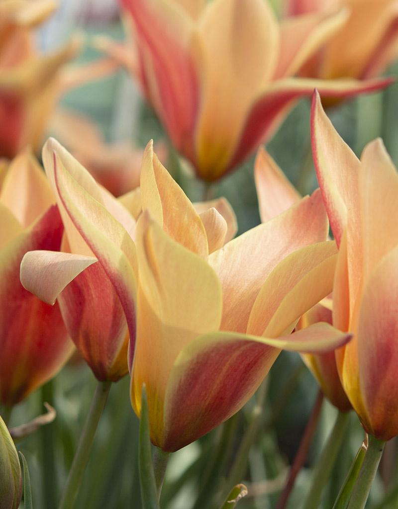 Tulpe  Tulipa clusiana 'Sheila' (Tulpe)