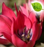 Tulpe  Tulipa 'Little Beauty', BIO