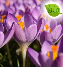 Krokus (Elfen/Dalmatiner)  Crocus tommasinianus 'Barr's Purple' , BIO
