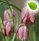Schachbrettblume  Fritillaria meleagris (Gewöhnliche Schachbrettblume) - Stinsenpflanze, BIO