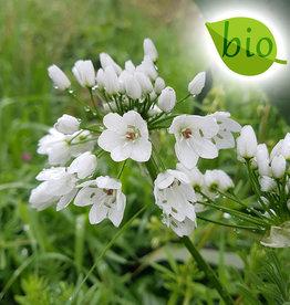 Lauch  Allium neapolitanum (cowanii), BIO