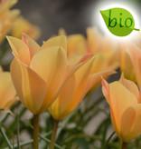Tulpe  Tulipa batalinii 'Bronze Charm', BIO