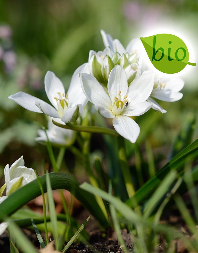 Vogelmilch (Breitblättrige)  Ornithogalum balansae (Breitblättrige Vogelmilch) - Stinsenpflanze - BIO