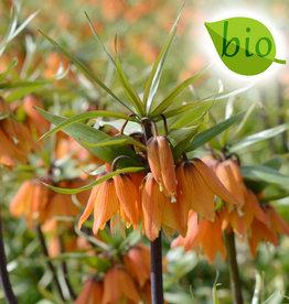 Kaiserkrone  Fritillaria 'Early Dream', BIO
