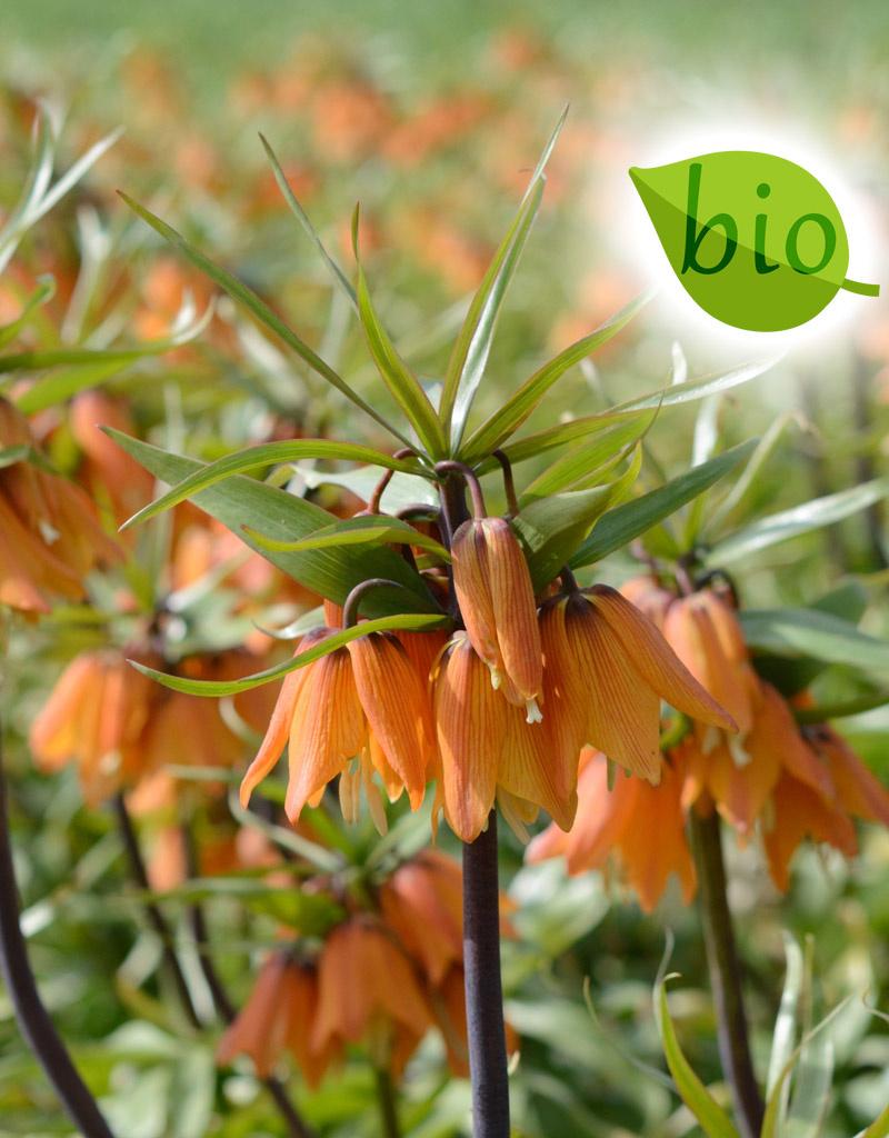 Kaiserkrone  Fritillaria 'Early Dream' (Kaiserkrone), BIO