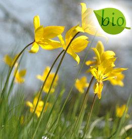 Tulpe (Wald)  Tulipa sylvestris, BIO