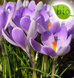 Krokus (Frühlings)  Crocus vernus 'Vanguard', BIO