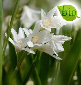 Kegelblume  Puschkinia scilloides var. libanotica 'Alba', BIO