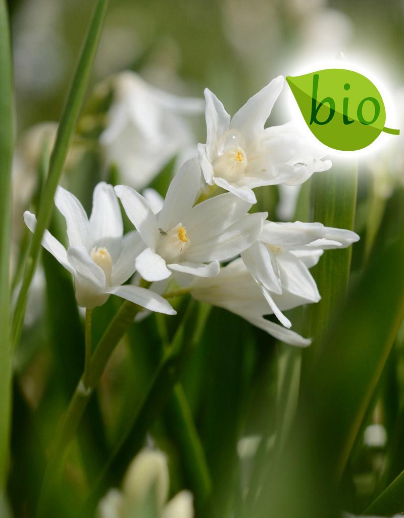 Kegelblume  Puschkinia scilloides var. libanotica 'Alba' (Libanon-Kegelblume) - Stinsenpflanze, BIO