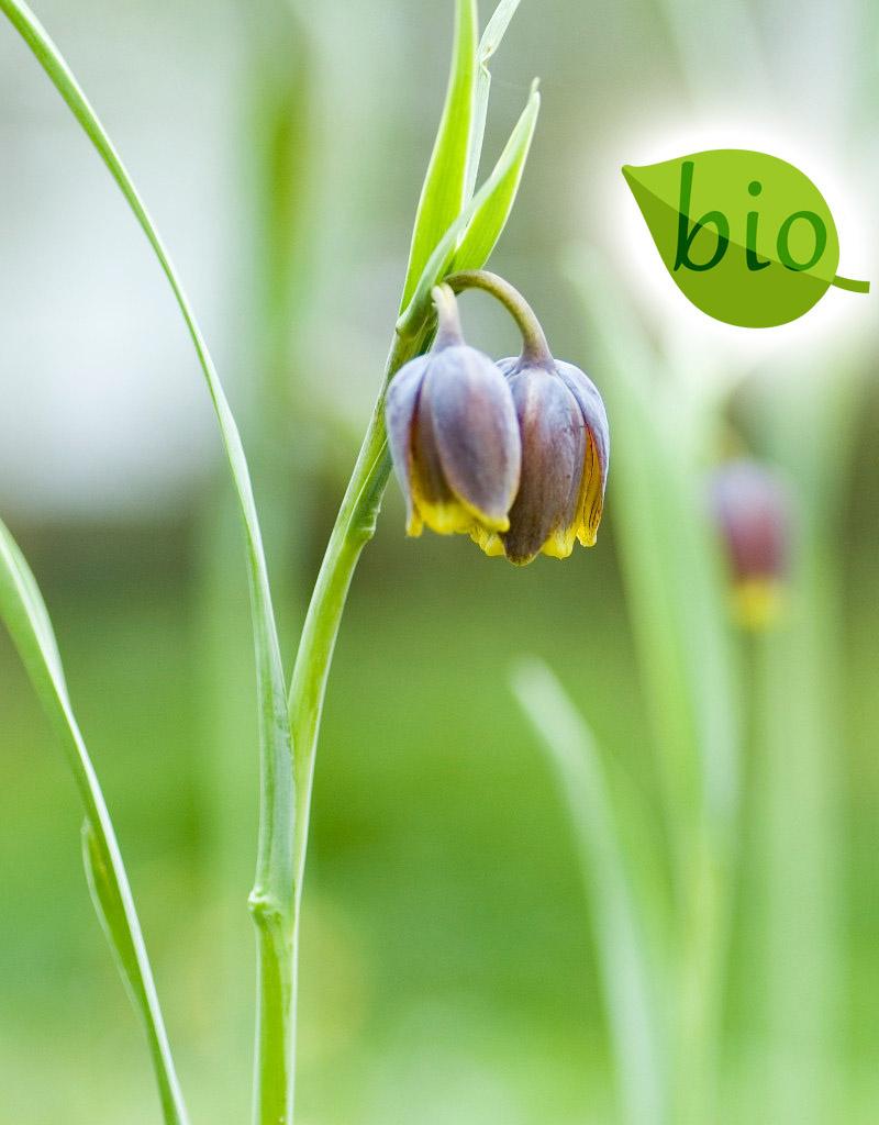 Schachblume (Fuchstrauben)  Fritillaria uva-vulpis (Fuchstrauben-Schachblume), BIO